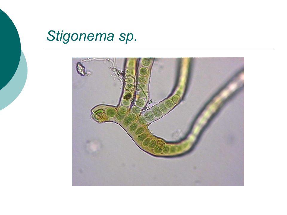 Stigonema sp.