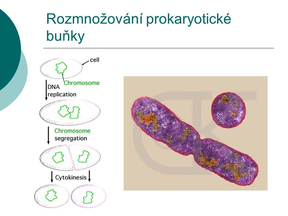 Rozmnožování prokaryotické buňky