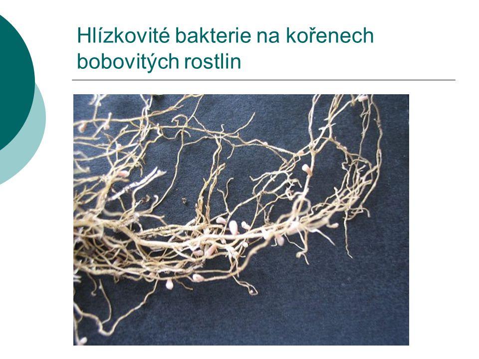 Hlízkovité bakterie na kořenech bobovitých rostlin