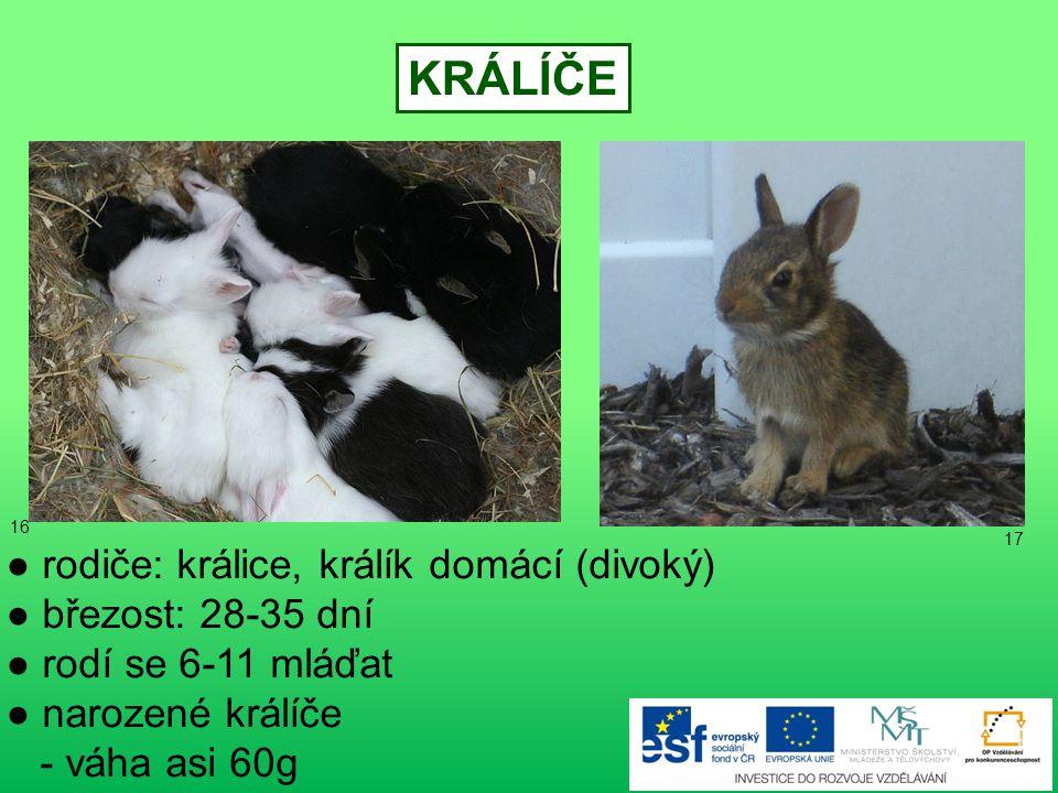 KRÁLÍČE ● rodiče: králice, králík domácí (divoký) ● březost: 28-35 dní