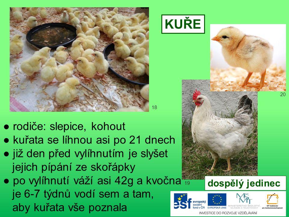 KUŘE ● rodiče: slepice, kohout ● kuřata se líhnou asi po 21 dnech