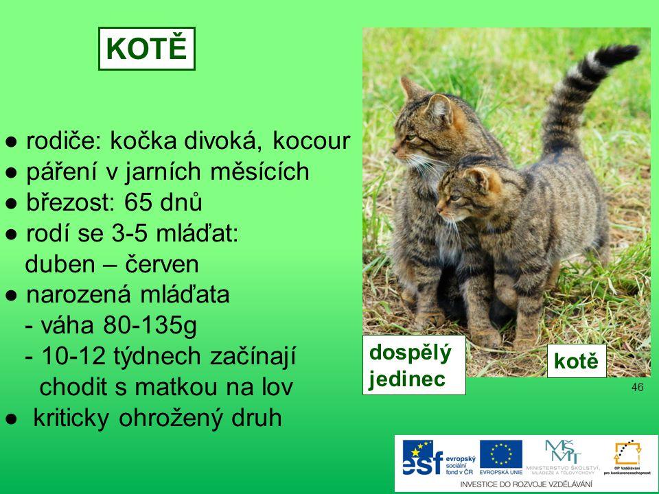 KOTĚ ● rodiče: kočka divoká, kocour ● páření v jarních měsících
