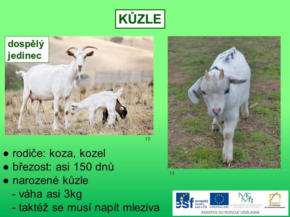 KŮZLE ● rodiče: koza, kozel ● březost: asi 150 dnů ● narozené kůzle