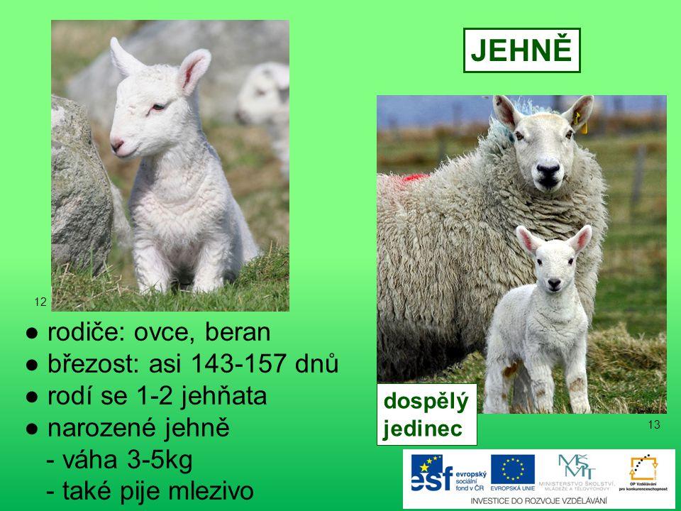 JEHNĚ ● rodiče: ovce, beran ● březost: asi 143-157 dnů
