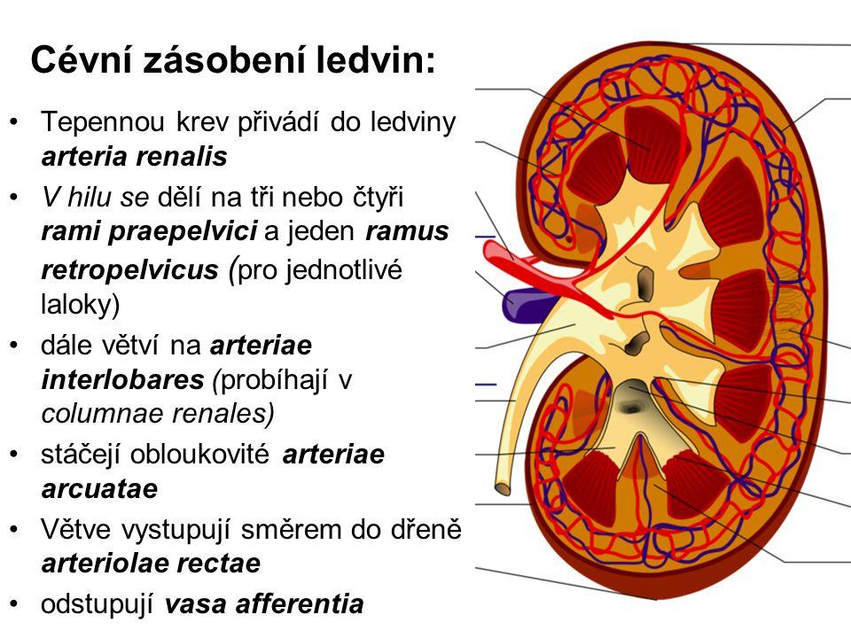 Cévní zásobení ledvin: