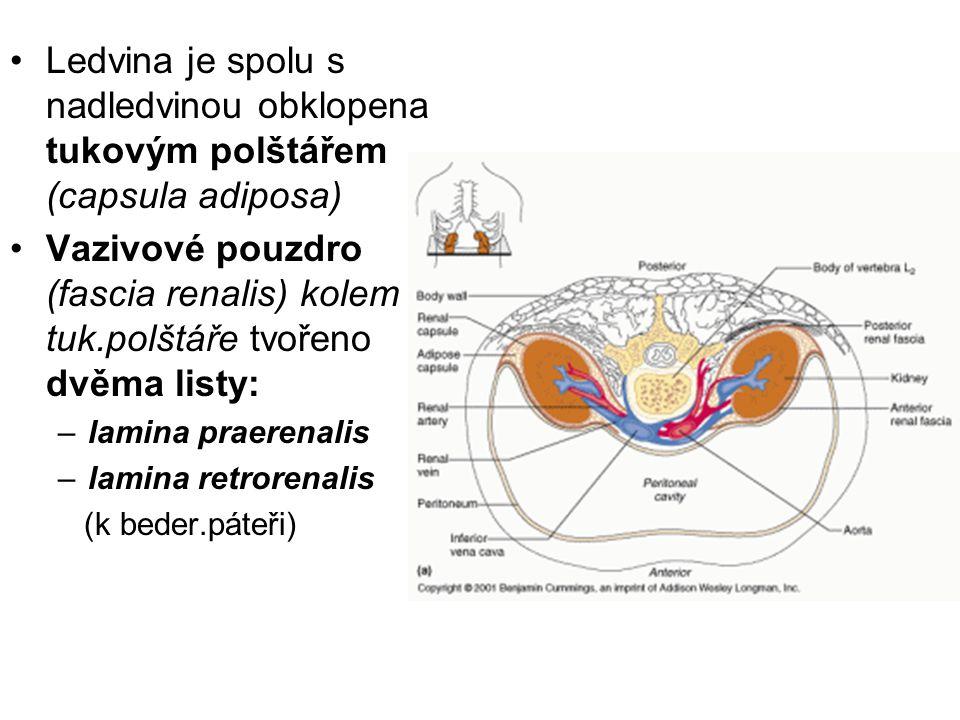 Ledvina je spolu s nadledvinou obklopena tukovým polštářem (capsula adiposa)