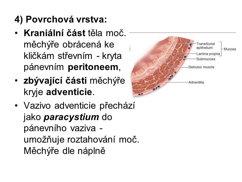 4) Povrchová vrstva: Kraniální část těla moč. měchýře obrácená ke kličkám střevním - kryta pánevním peritoneem,