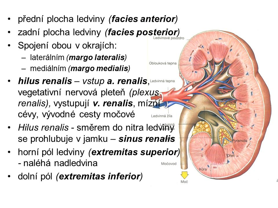 přední plocha ledviny (facies anterior)