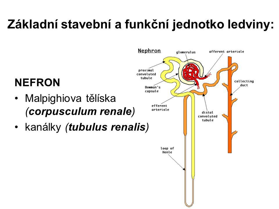 Základní stavební a funkční jednotko ledviny: