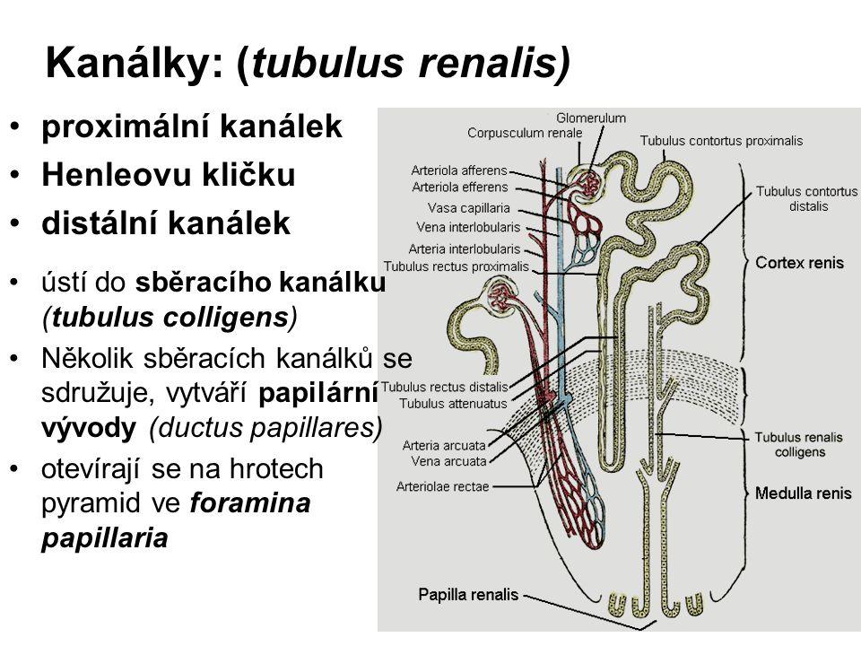 Kanálky: (tubulus renalis)