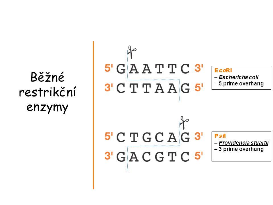 Běžné restrikční enzymy