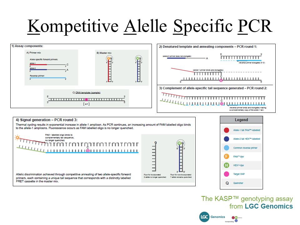 Kompetitive Alelle Specific PCR