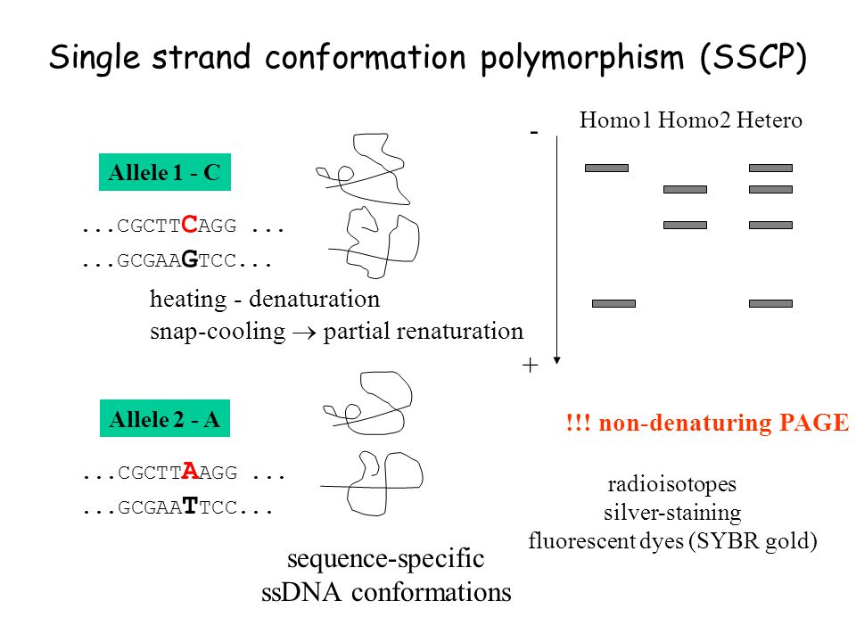 Single strand conformation polymorphism (SSCP)