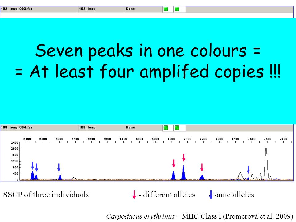 Seven peaks in one colours = = At least four amplifed copies !!!