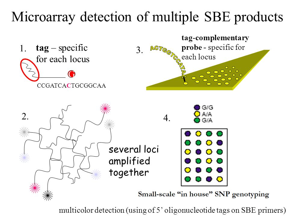 Microarray detection of multiple SBE products