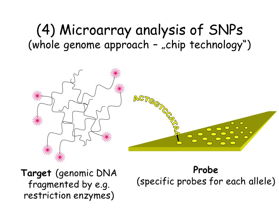 "(4) Microarray analysis of SNPs (whole genome approach – ""chip technology )"