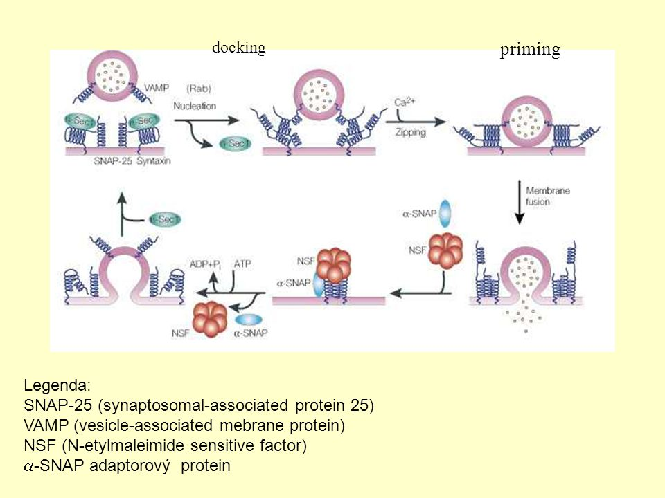 priming docking Legenda: SNAP-25 (synaptosomal-associated protein 25)