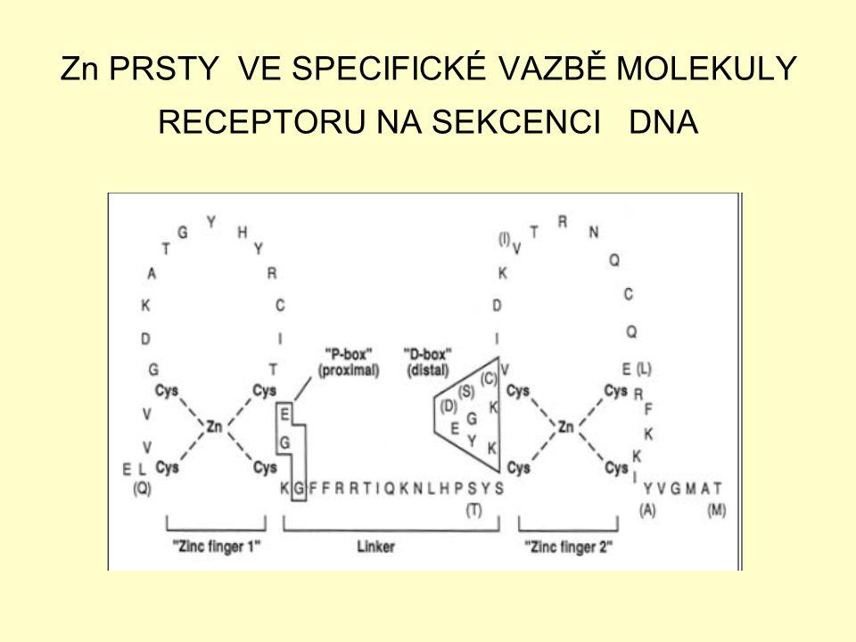 Zn PRSTY VE SPECIFICKÉ VAZBĚ MOLEKULY RECEPTORU NA SEKCENCI DNA