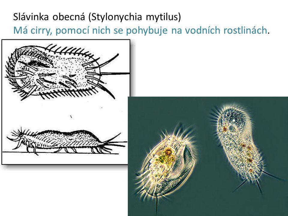 Slávinka obecná (Stylonychia mytilus)