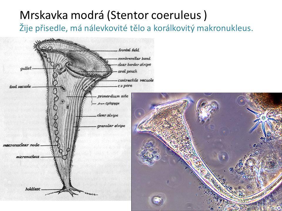 Mrskavka modrá (Stentor coeruleus )