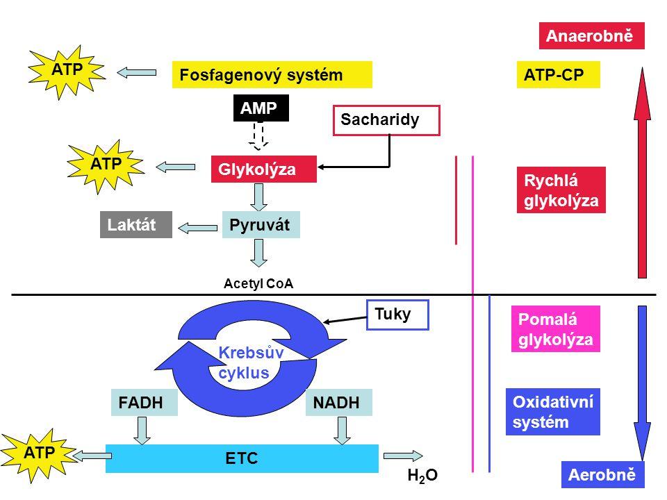 Anaerobně ATP Fosfagenový systém ATP-CP AMP Sacharidy ATP Glykolýza