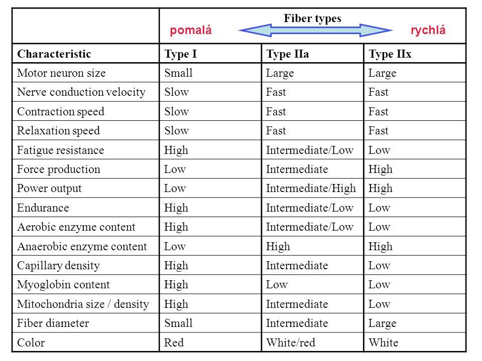 Fiber types Characteristic. Type I. Type IIa. Type IIx. Motor neuron size. Small. Large. Nerve conduction velocity.