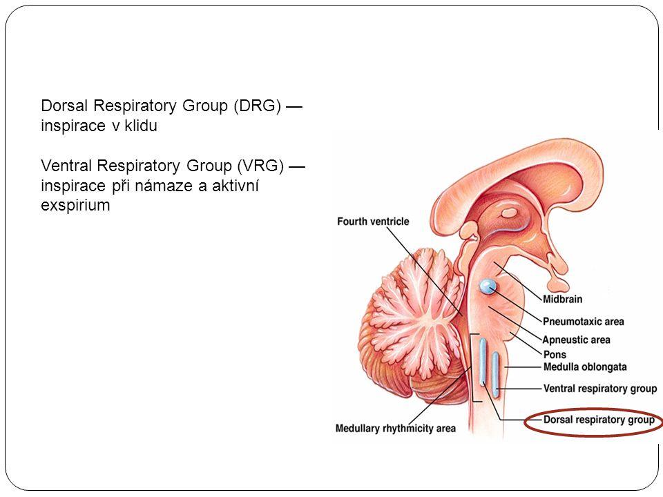 Dorsal Respiratory Group (DRG) — inspirace v klidu