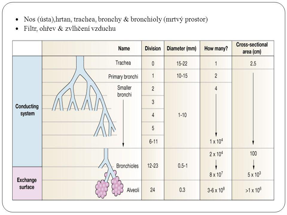 Nos (ústa),hrtan, trachea, bronchy & bronchioly (mrtvý prostor)