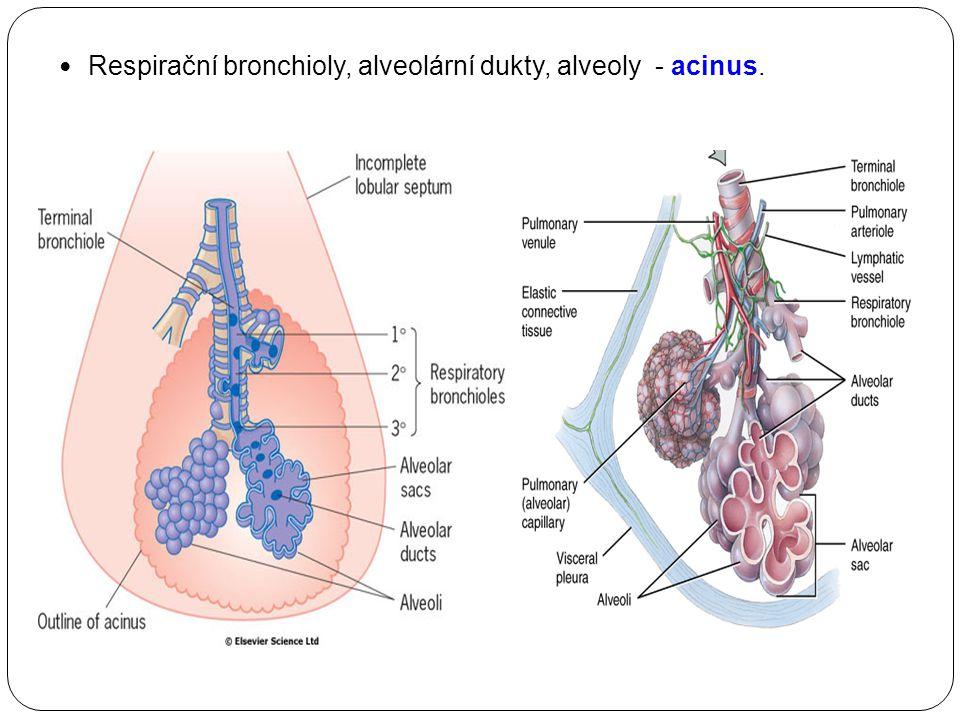 Respirační bronchioly, alveolární dukty, alveoly - acinus.