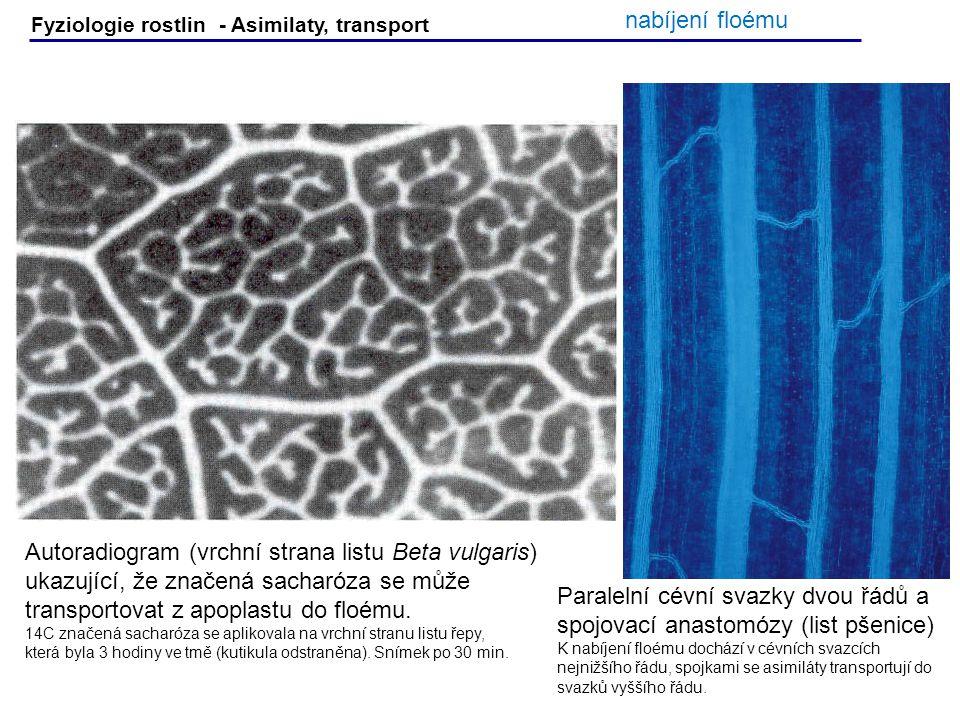Autoradiogram (vrchní strana listu Beta vulgaris)