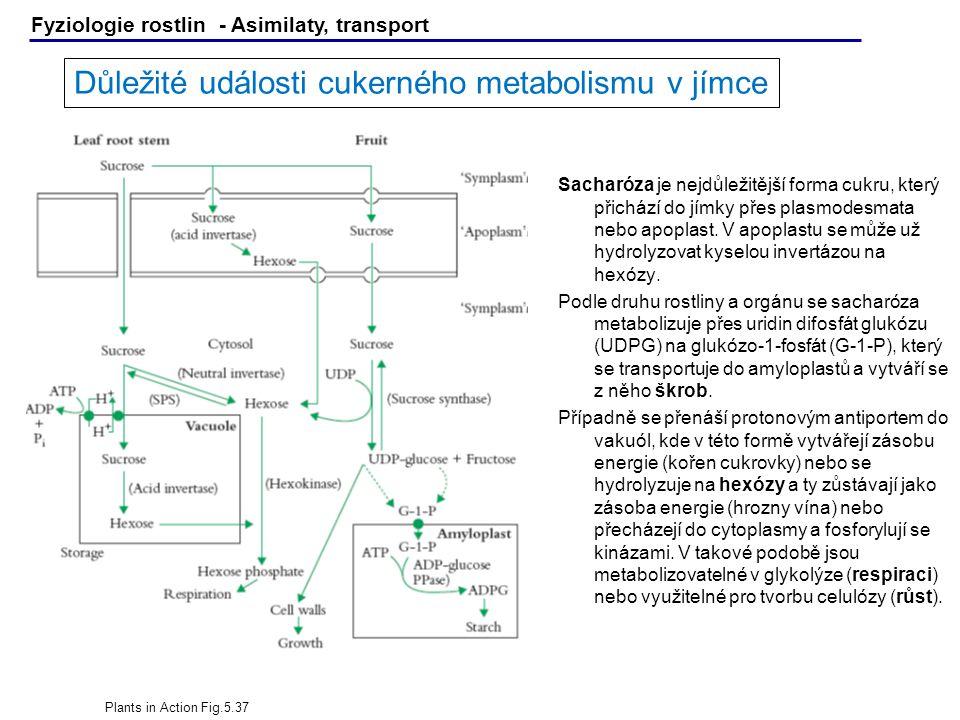 Důležité události cukerného metabolismu v jímce