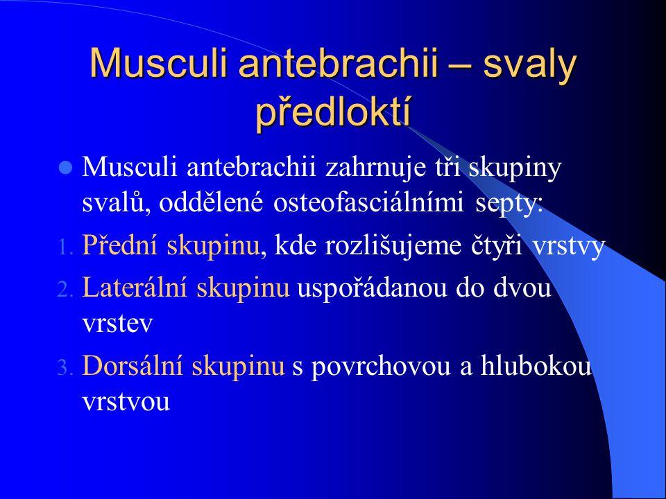 Musculi antebrachii – svaly předloktí