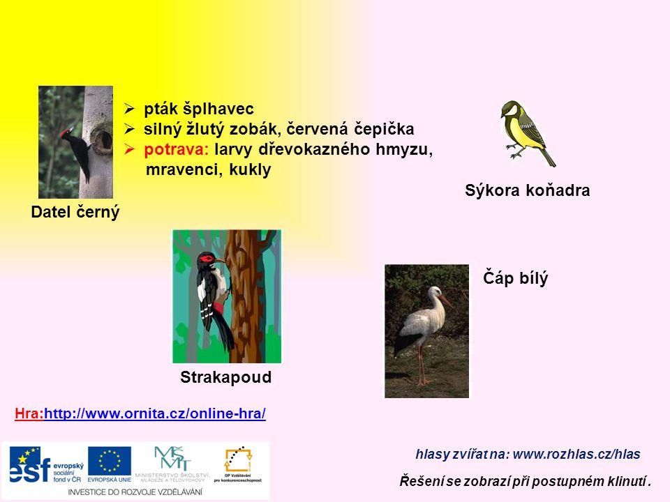 silný žlutý zobák, červená čepička potrava: larvy dřevokazného hmyzu,