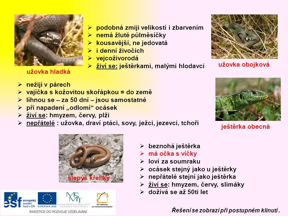 podobná zmiji velikostí i zbarvením nemá žluté půlměsíčky