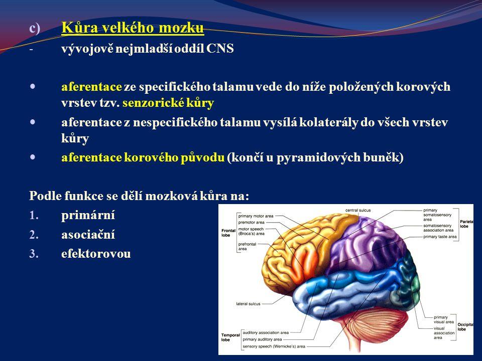 Kůra velkého mozku vývojově nejmladší oddíl CNS
