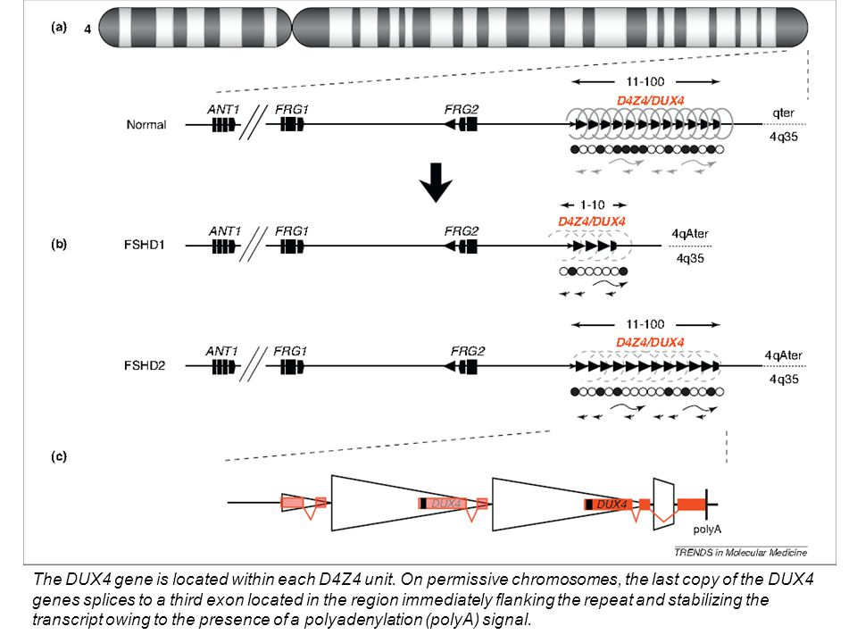 The DUX4 gene is located within each D4Z4 unit