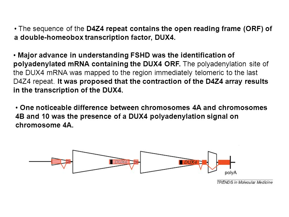 The sequence of the D4Z4 repeat contains the open reading frame (ORF) of a double-homeobox transcription factor, DUX4.