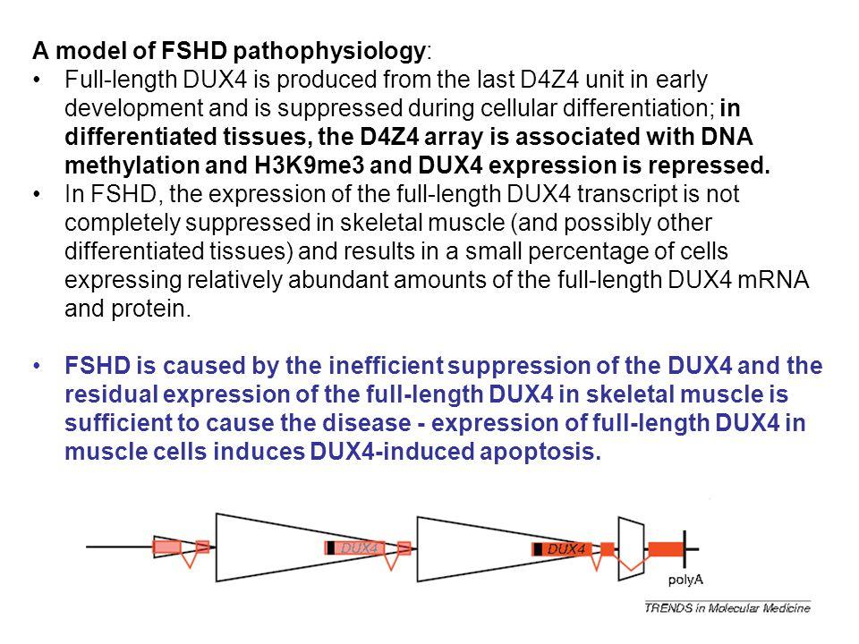 A model of FSHD pathophysiology: