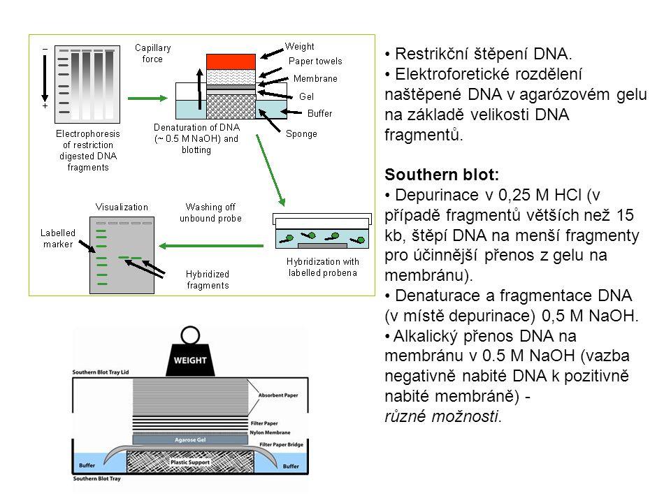 Restrikční štěpení DNA.