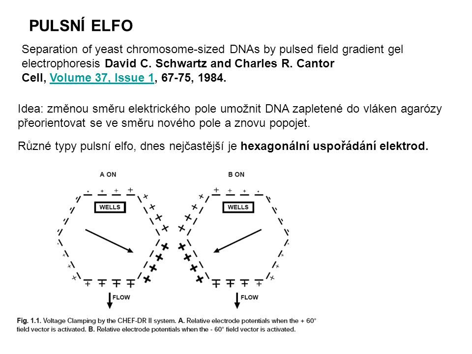 PULSNÍ ELFO Separation of yeast chromosome-sized DNAs by pulsed field gradient gel electrophoresis David C. Schwartz and Charles R. Cantor.