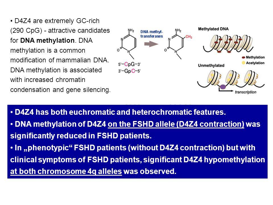 D4Z4 has both euchromatic and heterochromatic features.