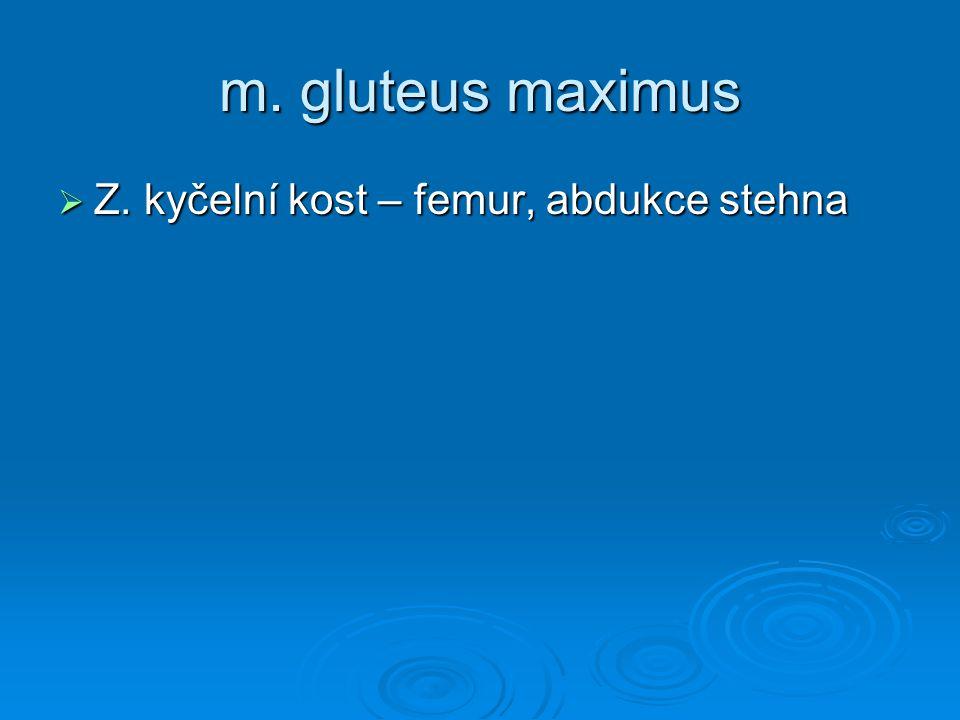 m. gluteus maximus Z. kyčelní kost – femur, abdukce stehna