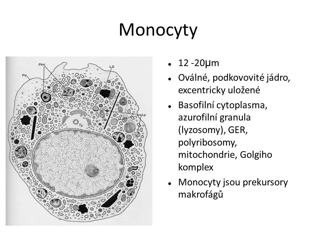 Monocyty 12 -20μm Oválné, podkovovité jádro, excentricky uložené