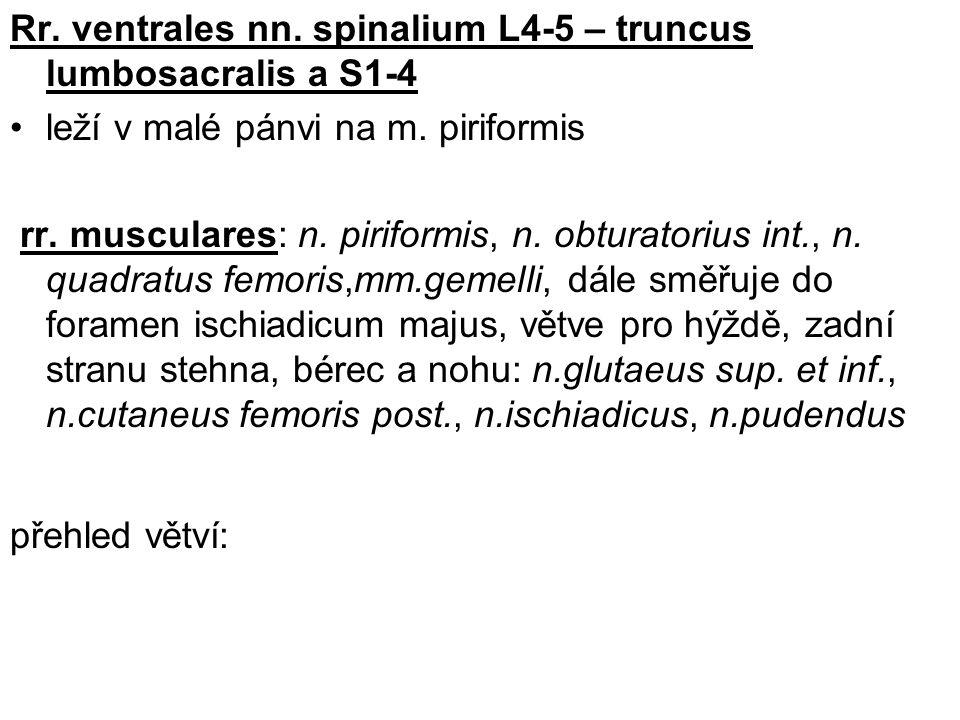 Rr. ventrales nn. spinalium L4-5 – truncus lumbosacralis a S1-4
