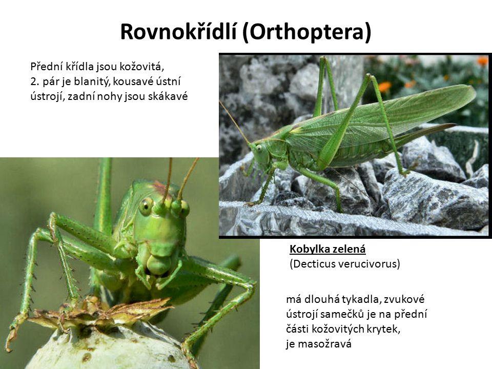 Rovnokřídlí (Orthoptera)