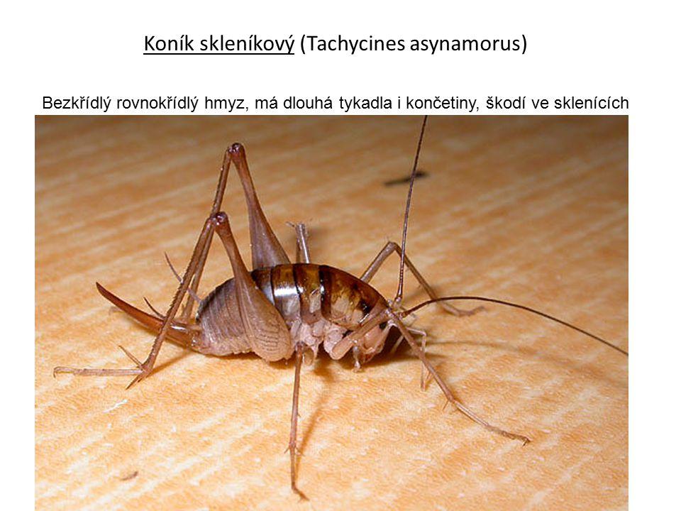 Koník skleníkový (Tachycines asynamorus)