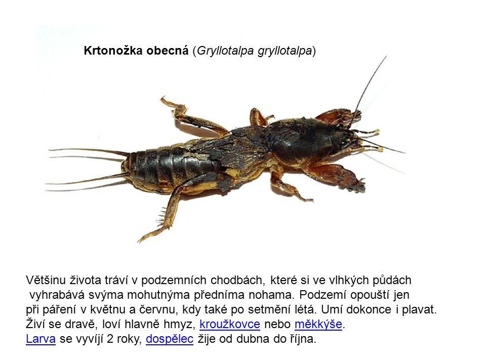 Krtonožka obecná (Gryllotalpa gryllotalpa)