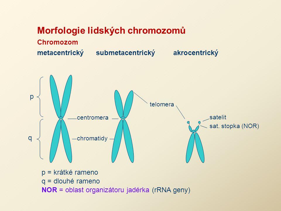 Morfologie lidských chromozomů