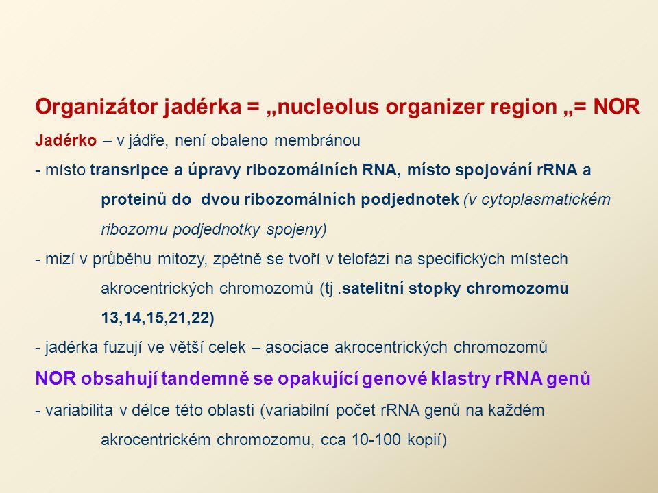 "Organizátor jadérka = ""nucleolus organizer region ""= NOR"