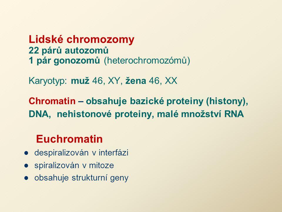 Lidské chromozomy 22 párů autozomů 1 pár gonozomů (heterochromozómů) Karyotyp: muž 46, XY, žena 46, XX Chromatin – obsahuje bazické proteiny (histony), DNA, nehistonové proteiny, malé množství RNA